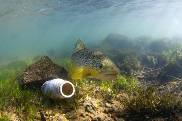 Brown trout and litter
