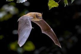 HS2 will destroy habitat of the common pipistrelle (Pipistrellus pipistrellus)