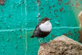 Dippers and microplastics