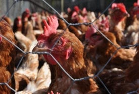 Lobbying for chlorinated chicken