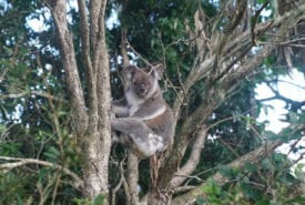 Koala in Swan Bay, NSW