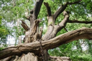 The Chained Oak