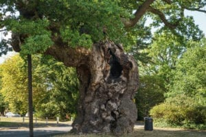 The Crouch Oak